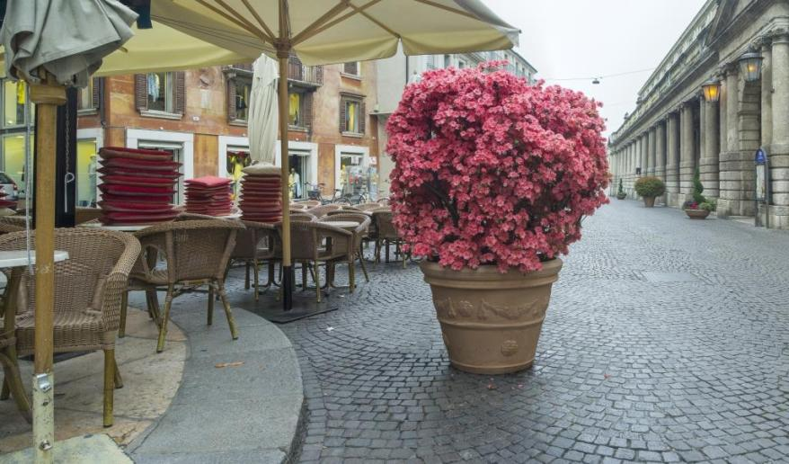 big pink flowers on the street in Verona in Italy
